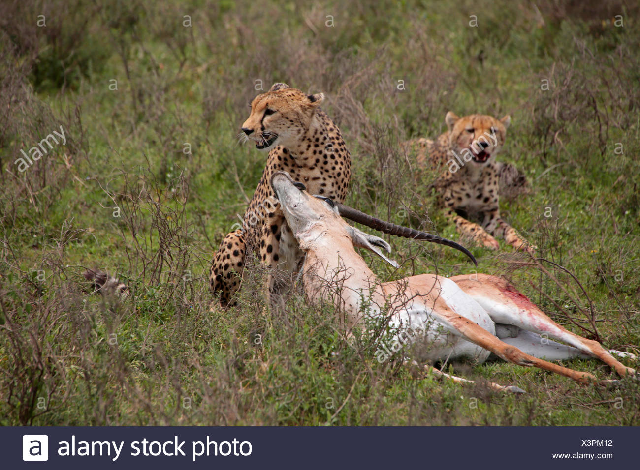 cheetah (Acinonyx jubatus), two cheetahs with caught Grant's gazelle, Tanzania, Serengeti National Park - Stock Image