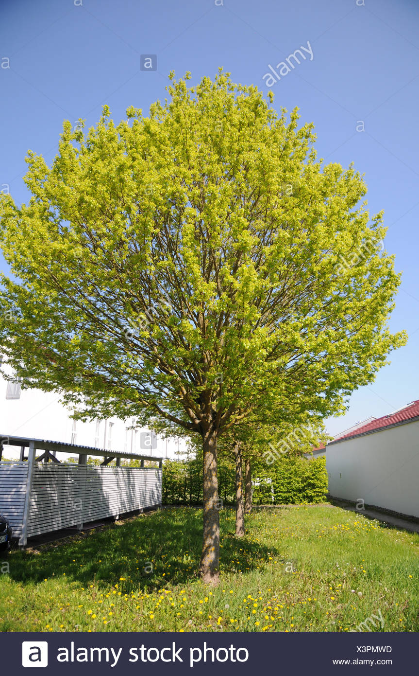 Acer Campestre Nanum Dwarf Field Maple Stock Photo 277709193 Alamy