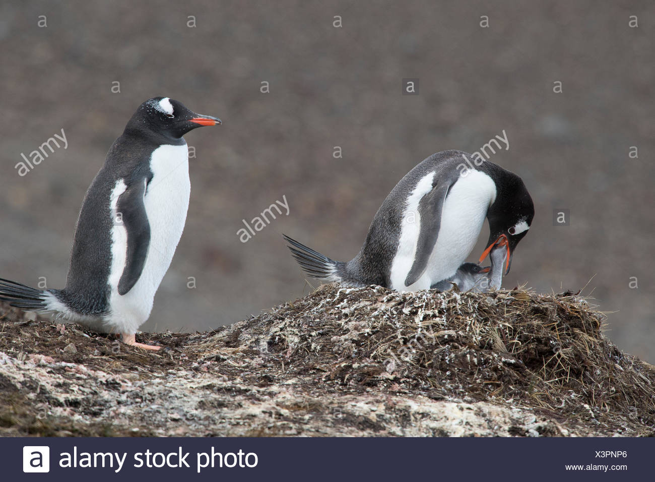 Gentoo penguins, Pygoscelis papua, rear their penguin chicks at a colony. Stock Photo