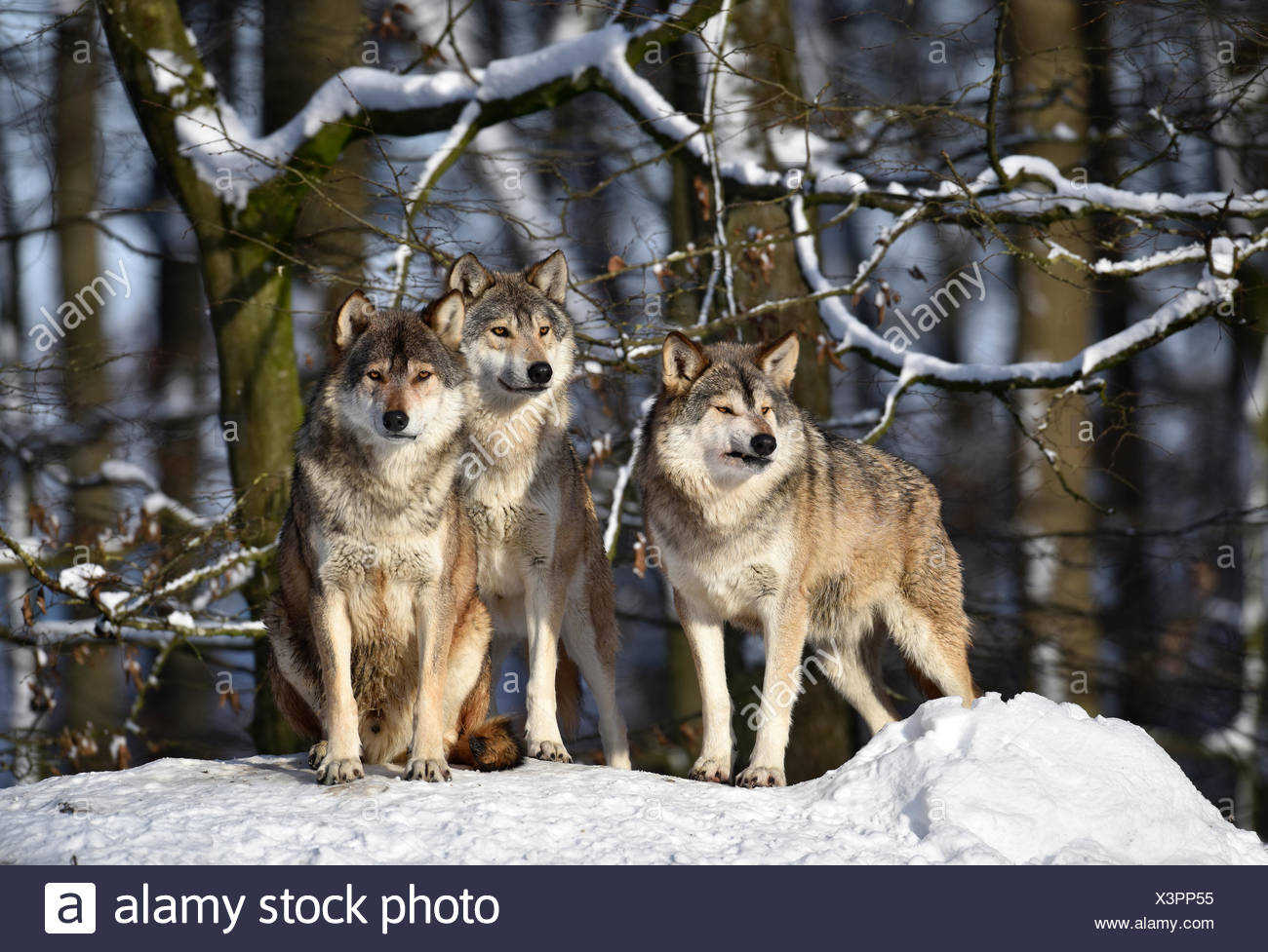 Three wolves on look out, Northwestern wolf (Canis lupus occidentalis) in the snow, captive, Baden-Württemberg, Germany - Stock Image