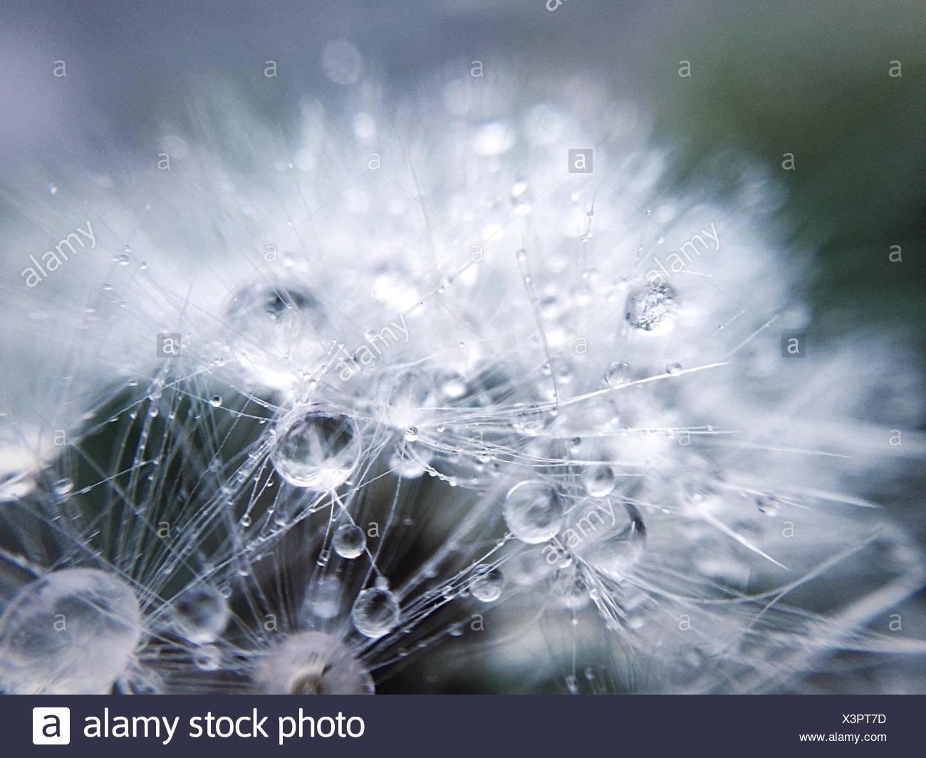 Close-Up Of Raindrops On Dandelion - Stock Image