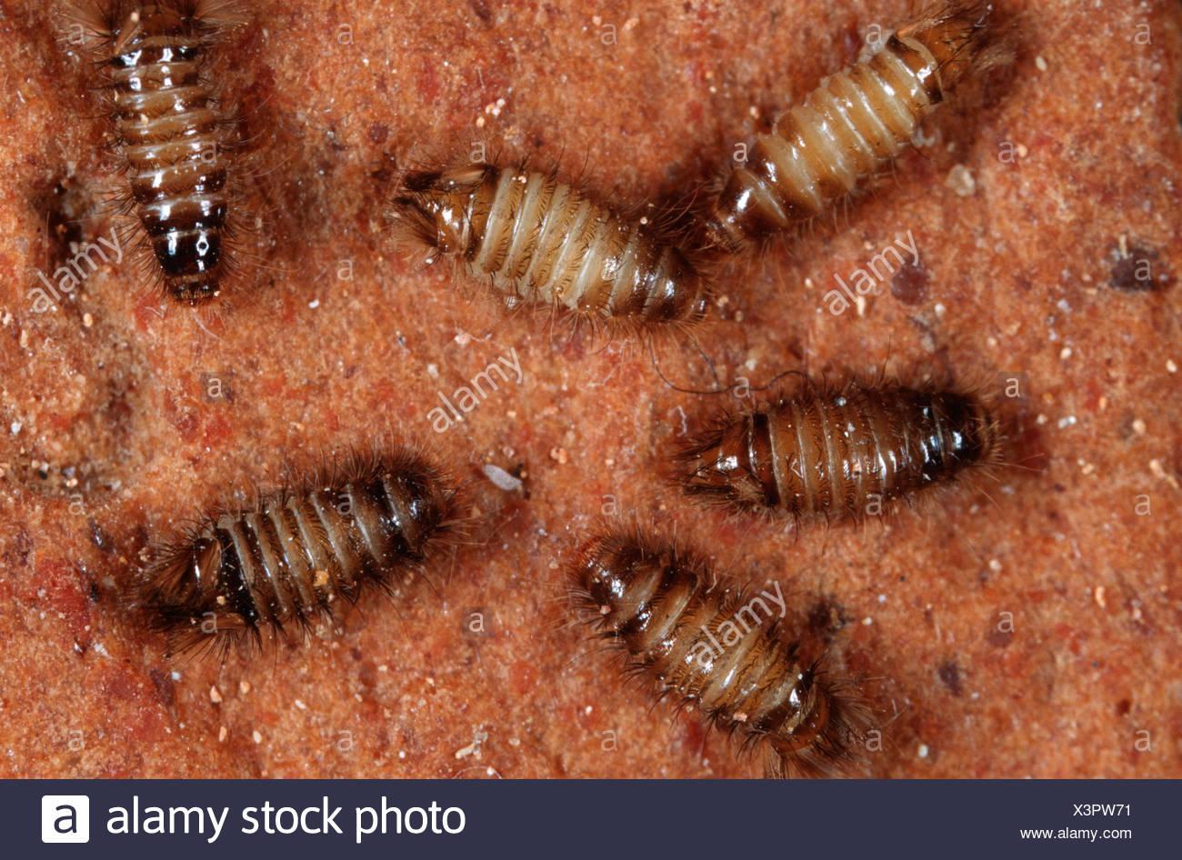 varied carpet beetle (Anthrenus verbasci), top view Stock Photo