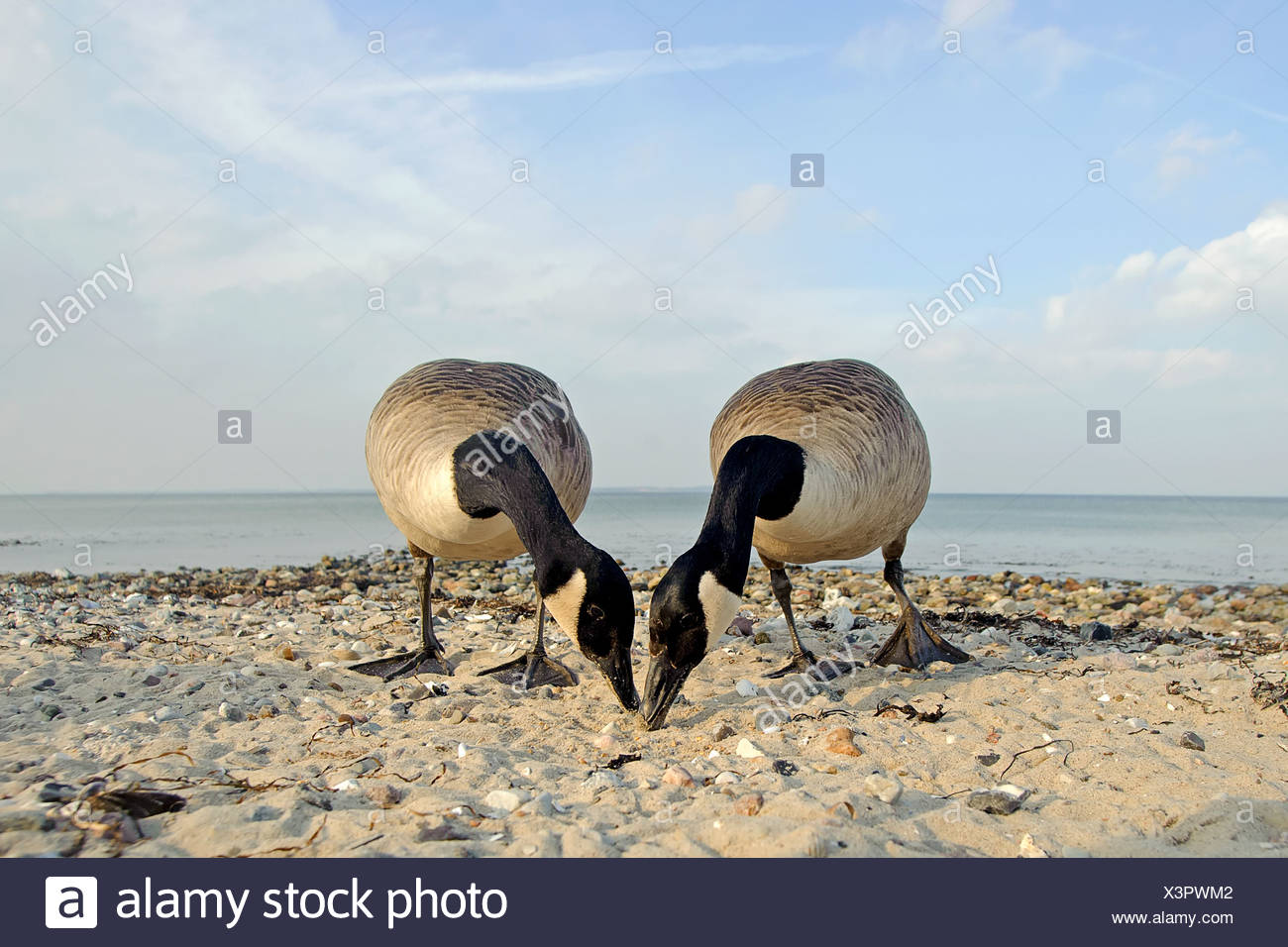 Two canada geese, Branta canadensis, searching feed - Stock Image
