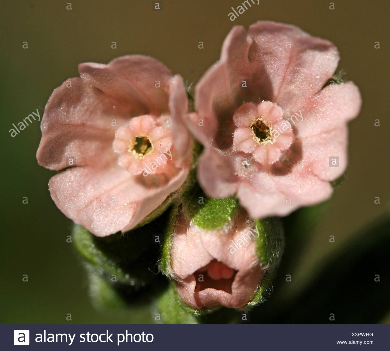 close up of two pink flowers of the Hound's-tongue - Stock Image