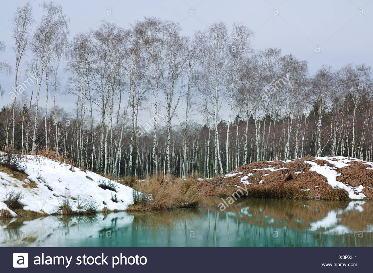 birch forest,high morr Stock Photo
