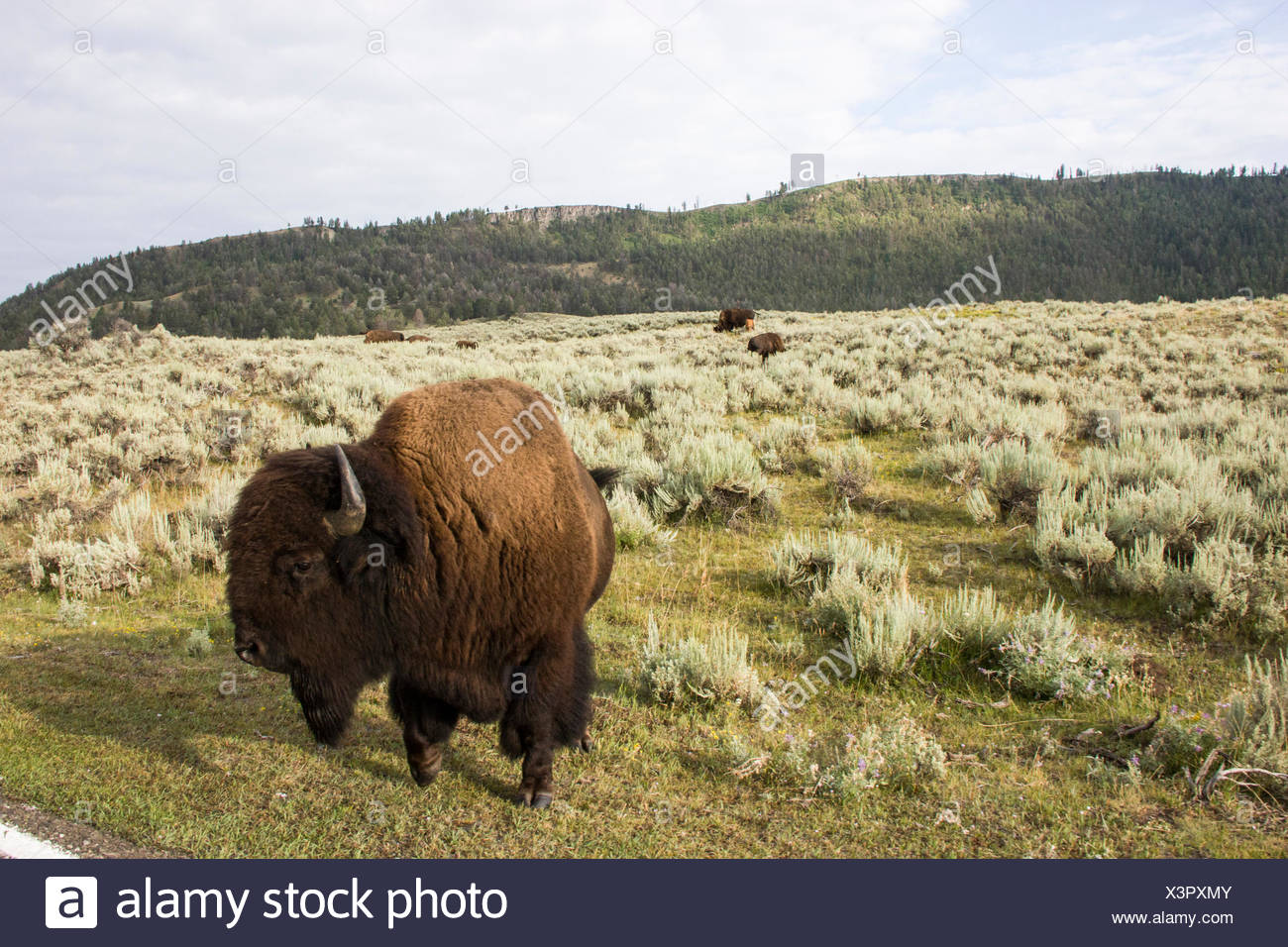 Bison roam in a field in the Lamar Valley. - Stock Image