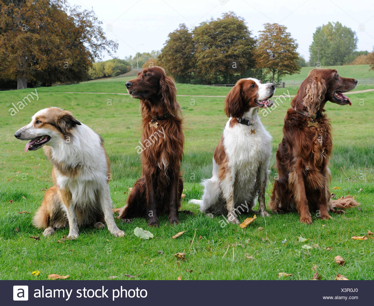 A group of dogs that are not obedient and are looking in different directions - Stock Image