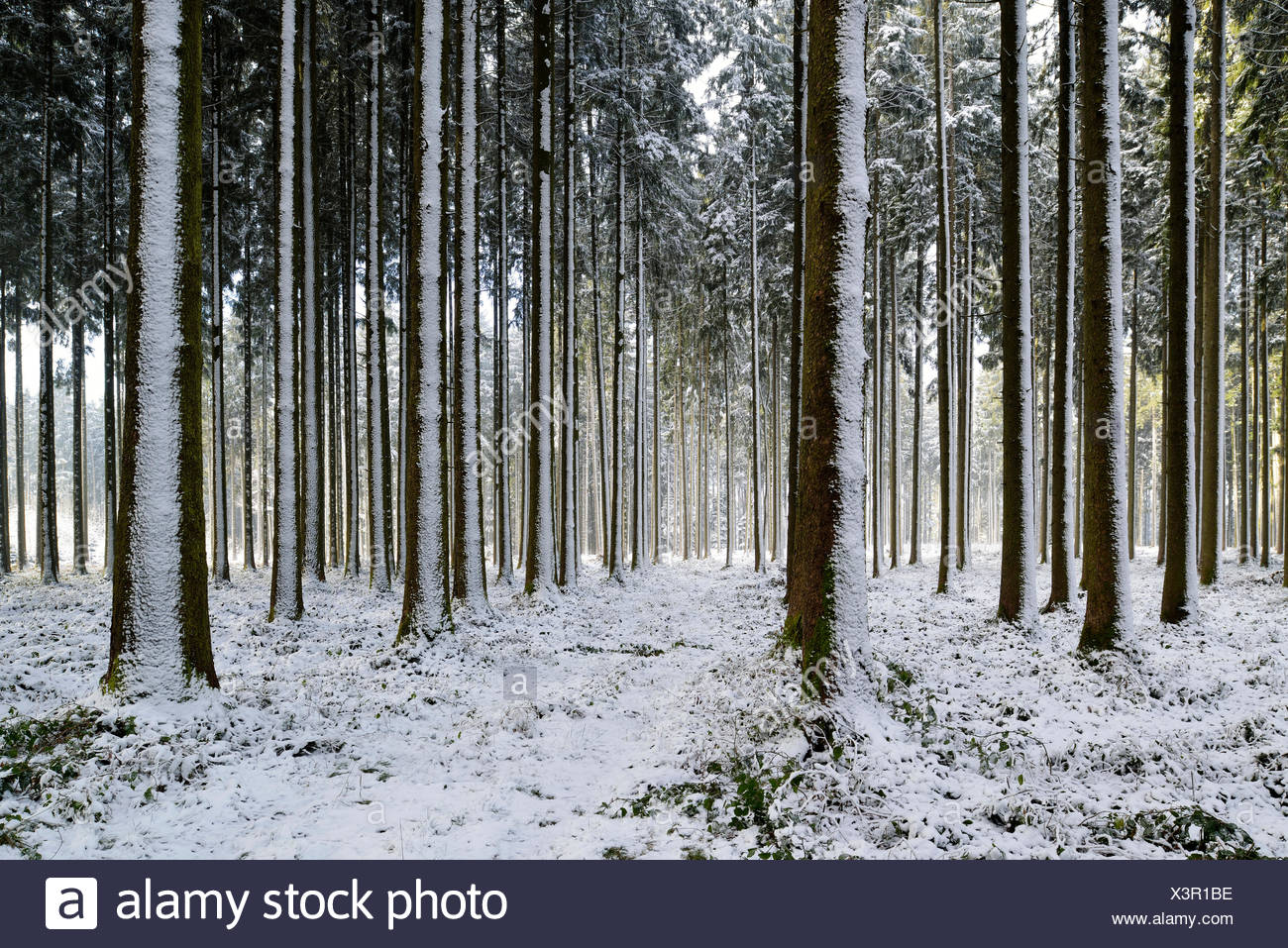 Snow-covered coniferous forest with freshly fallen snow, Horben, Canton of Aargau, Switzerland - Stock Image