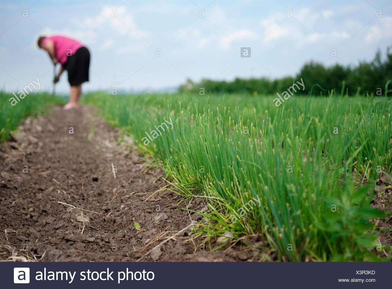Senior female farmer working on chives plantation. Organic farming. - Stock Image