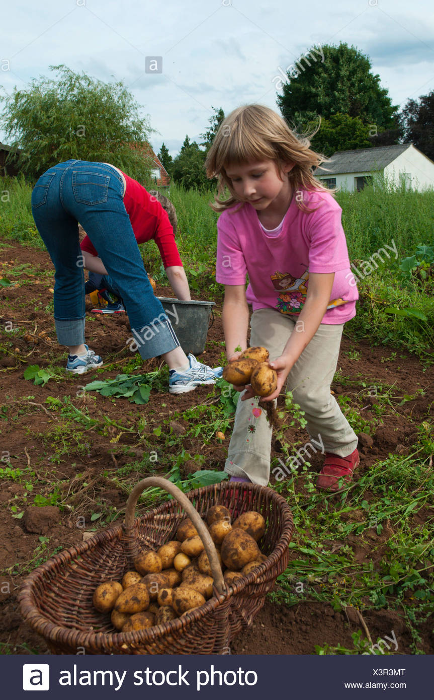 chidren havesting potatoes on an acre, Germany, Saarland - Stock Image