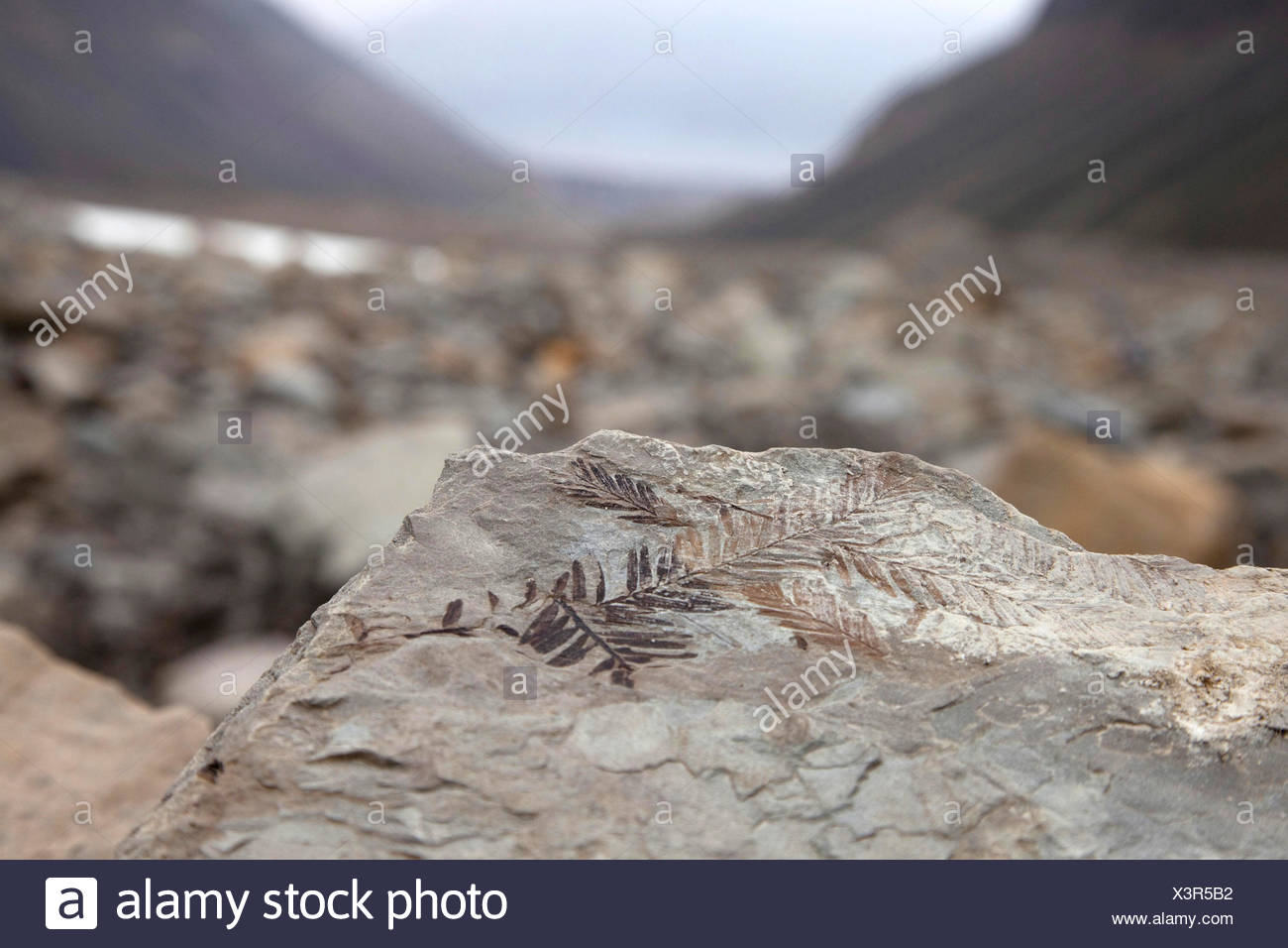 petrified fern at a glacier moraine, Norway, Svalbard, Longyearbyen - Stock Image
