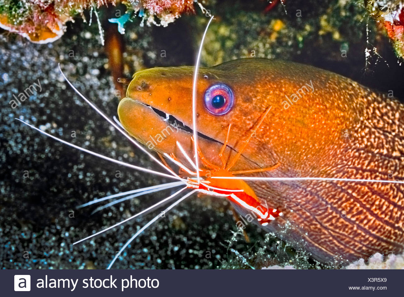 Undulated Moray Eel cleaned by Scarlet Cleaner Shrimp, Gymnothorax undulatus, Lysmata amboinensis, Big Island, Hawaii, USA - Stock Image