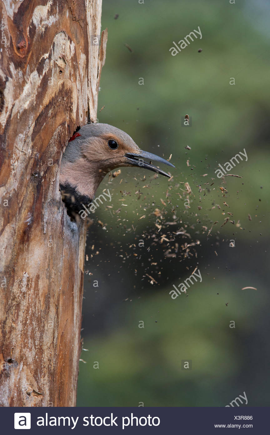 A northern flicker in the hollow of a tree. - Stock Image