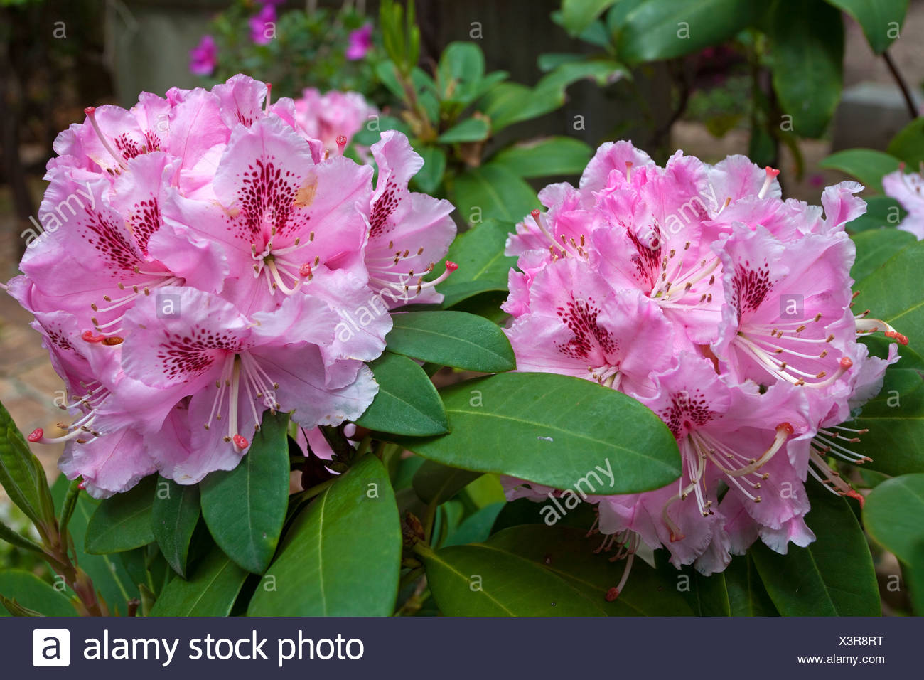 Azaleas (Rhododendron) in the gardens of Villa Ephrussi de Rothschild, , Var, Cote d'Azur, Southern France, France, Europe - Stock Image
