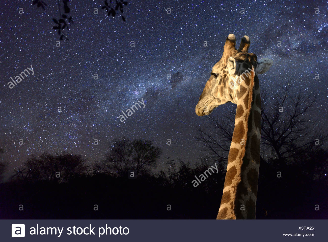 Africa, Southern, Namibiai, night, sky, stars, astro, photography, spangled sky, starlit, giraffe, Grootfontein - Stock Image