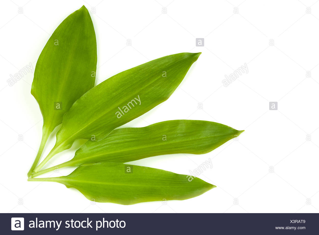 leaves garlic smell - Stock Image