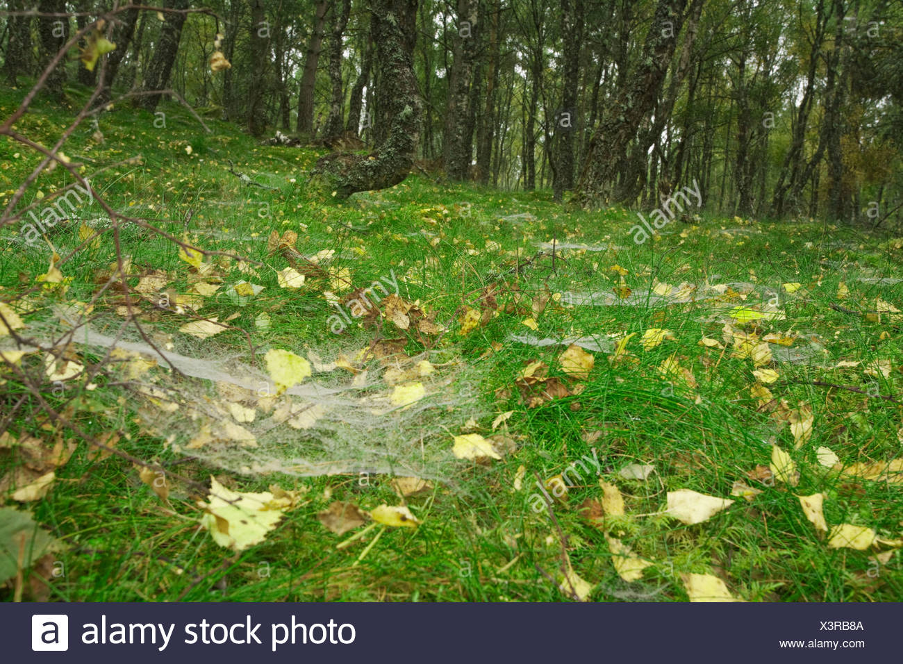 Mist water droplets on spiders webs on the forest floor in a silver birch wood, Boat of Garten, Cairngorms National Park, Scotti - Stock Image