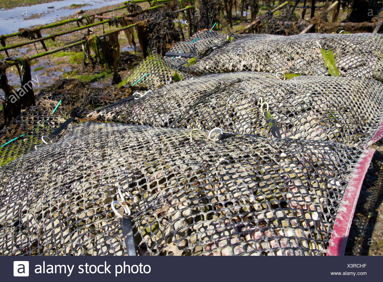 Oyster beds, Jersey, UK Stock Photo