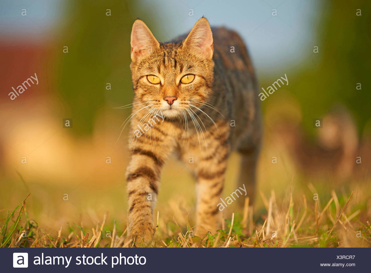 domestic cat, house cat (Felis silvestris f. catus), walking in a meadow, front view, Germany - Stock Image