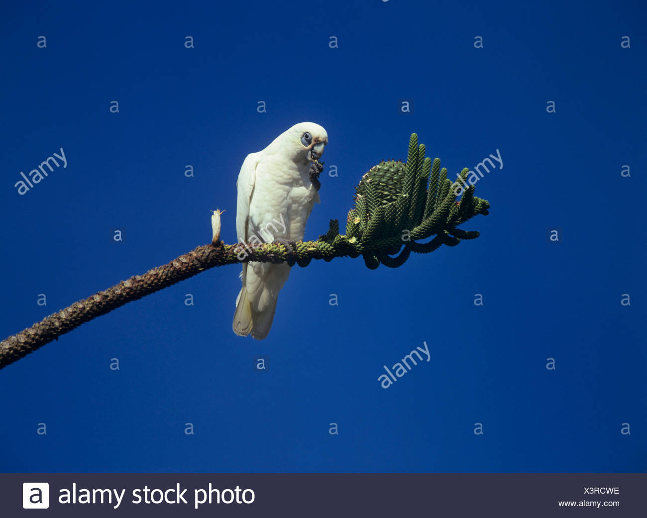 little corella (Cacatua sanguinea), sitting on a branch of an Araukaria eating, Australia Stock Photo
