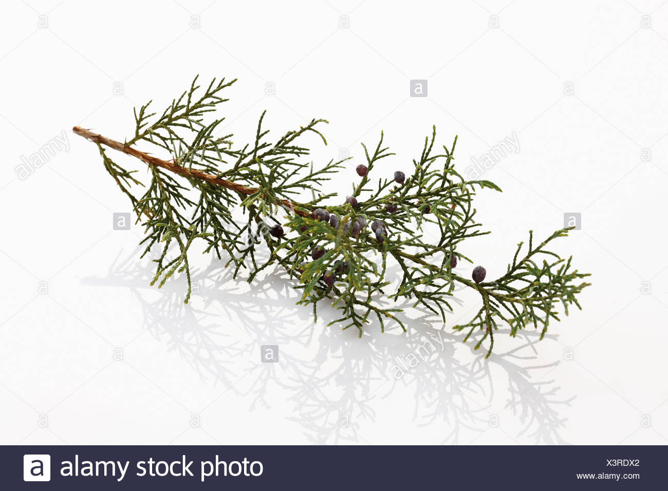 Twig of common juniper with berries, close-up - Stock Image