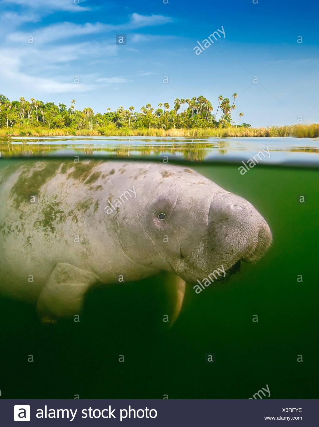 Over/under of Florida manatee calf - Stock Image