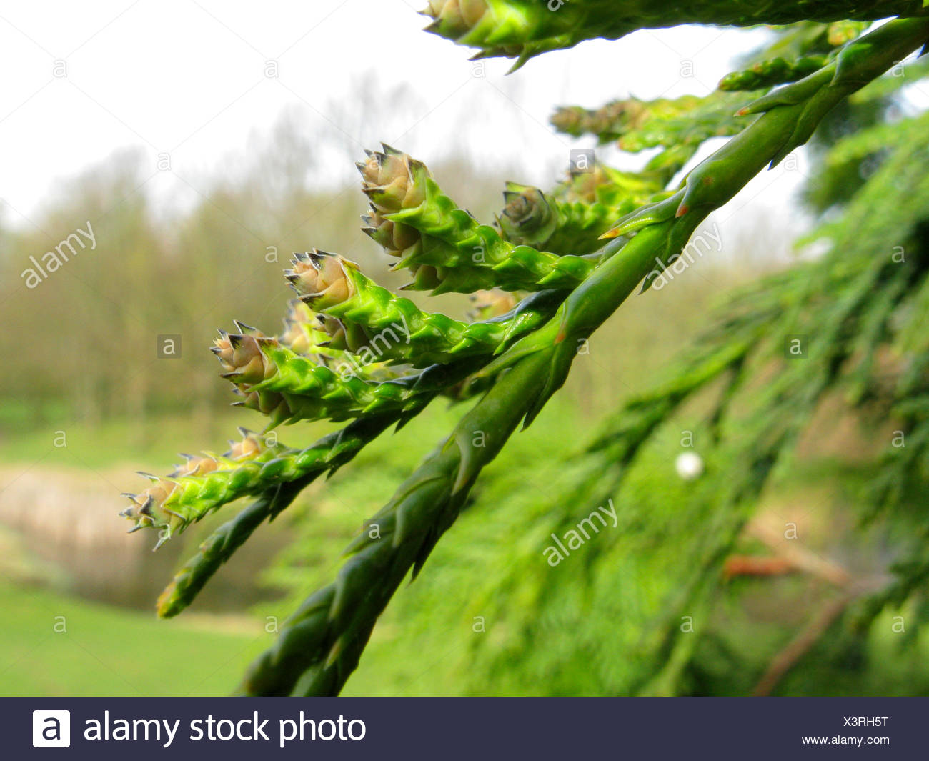 red cedar (Thuja plicata), branch with young cones - Stock Image