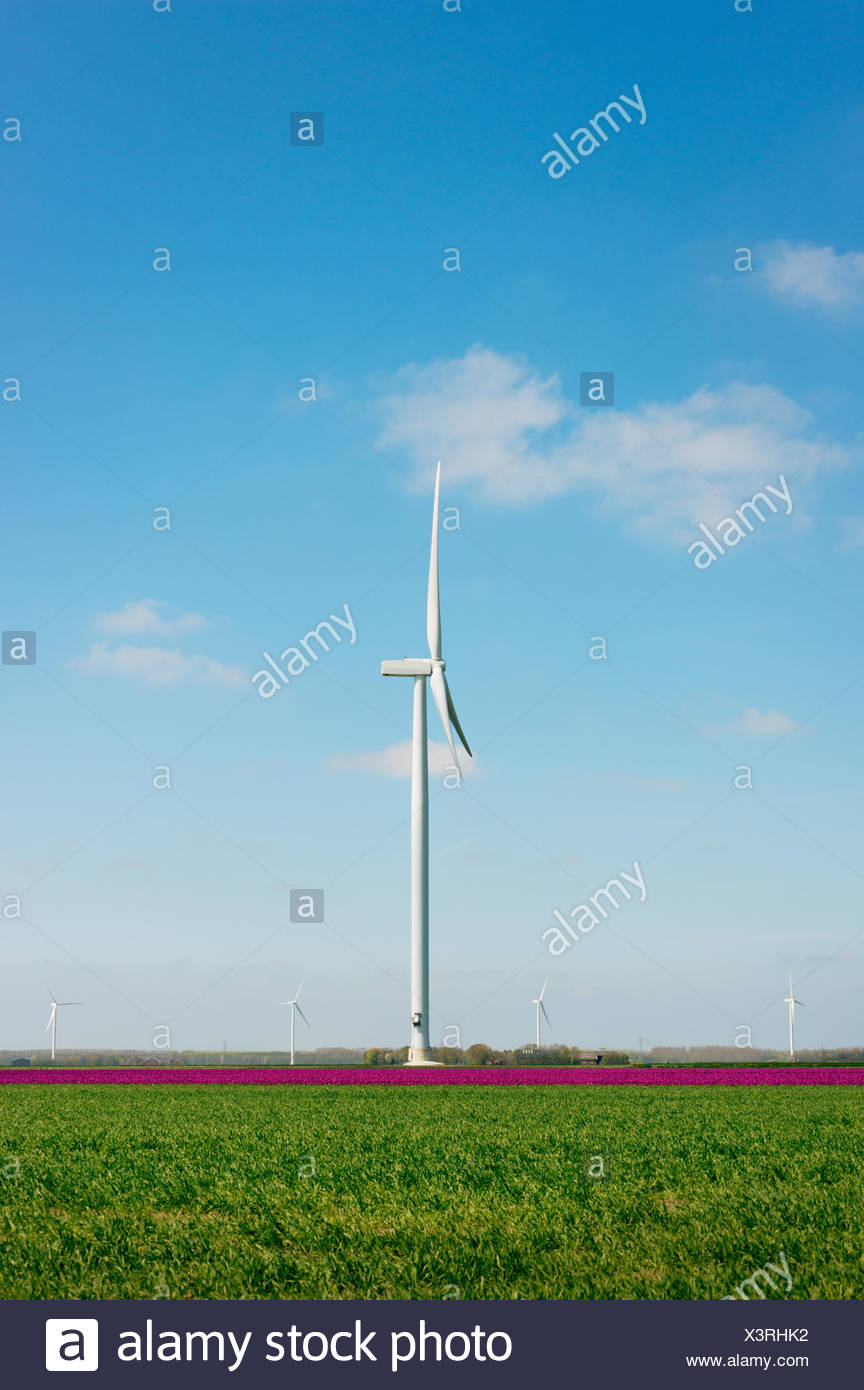 Magenta flower blooms and wind turbine, Zeewolde, Flevoland, Netherlands - Stock Image