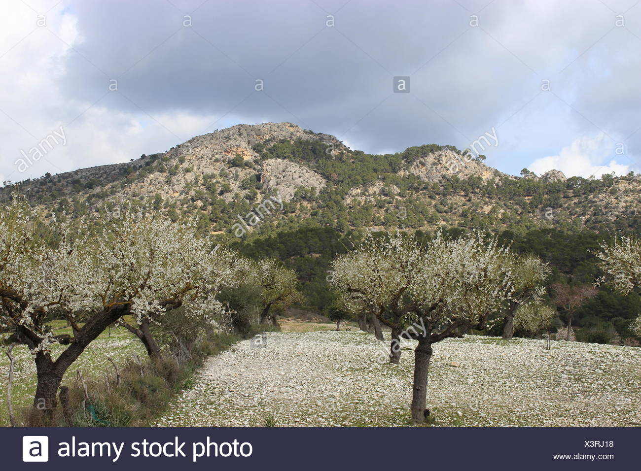 Almond trees at Paguera Stock Photo