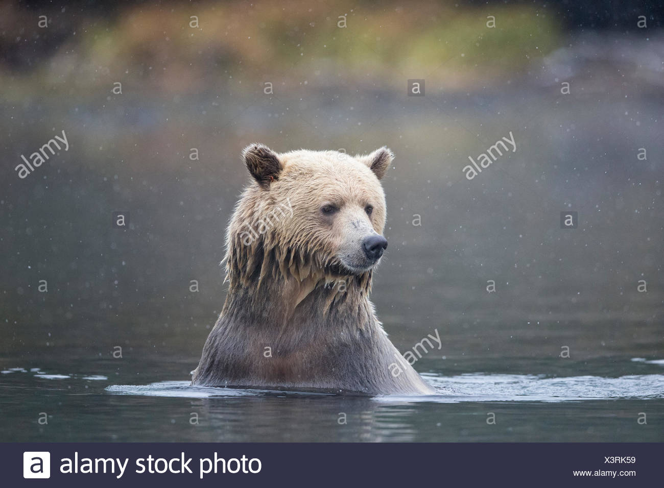 Grizzly bear (Ursus arctos horribilis), female in early snowfall, Chilcotin Region, British Columbia, Canada. - Stock Image