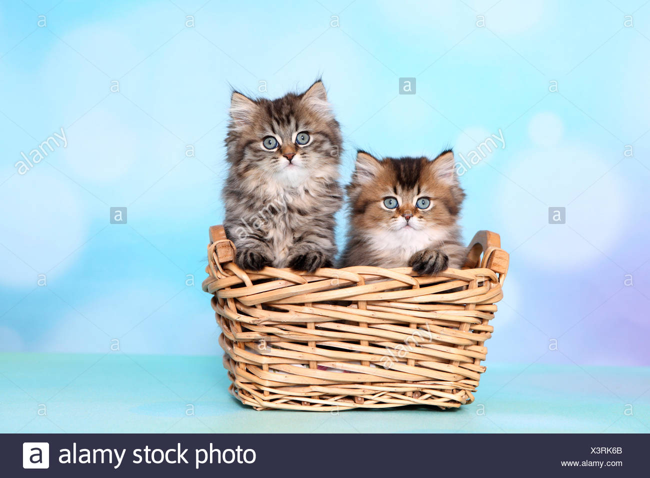 British Longhair. Two kittens (8 weeks old) in a wicker basket. Studio picture against a blue background Stock Photo