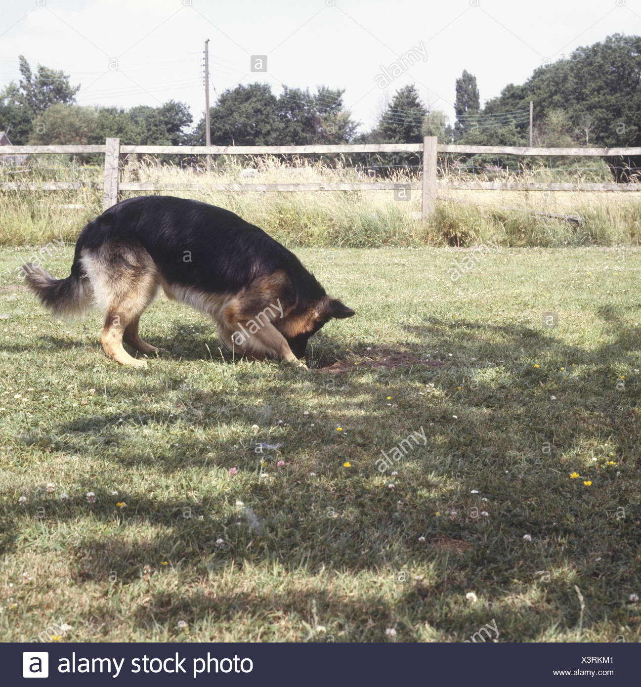 German Shepherd dog (Canis familiaris) digging hole in lawn, side view - Stock Image