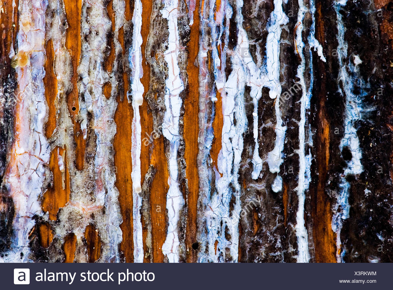 fijnspar; norway spruce; - Stock Image