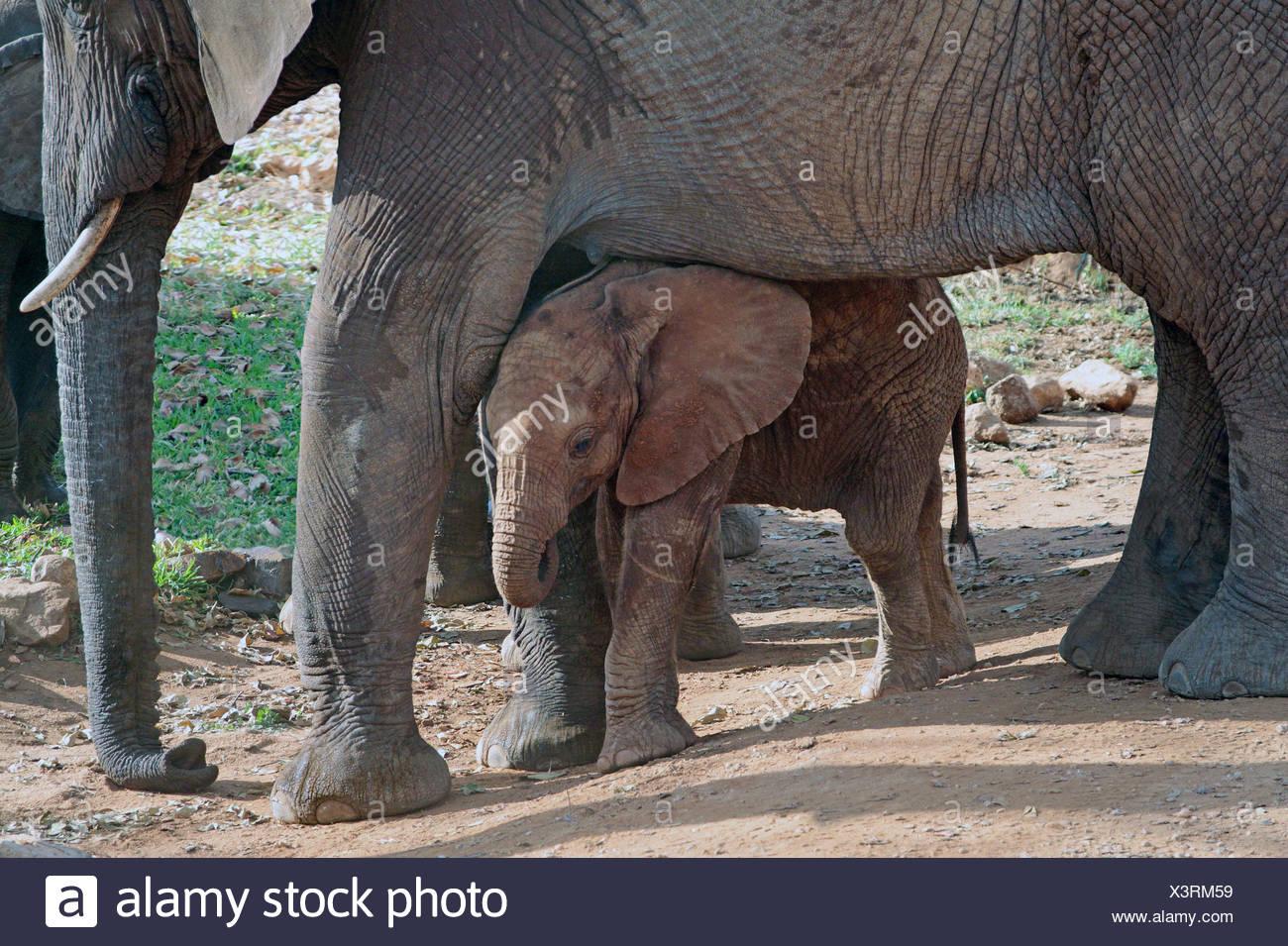 African elephant (Loxodonta africana), baby elephant taking shelter between the legs of its mother, Kenya, Amboseli National Park - Stock Image