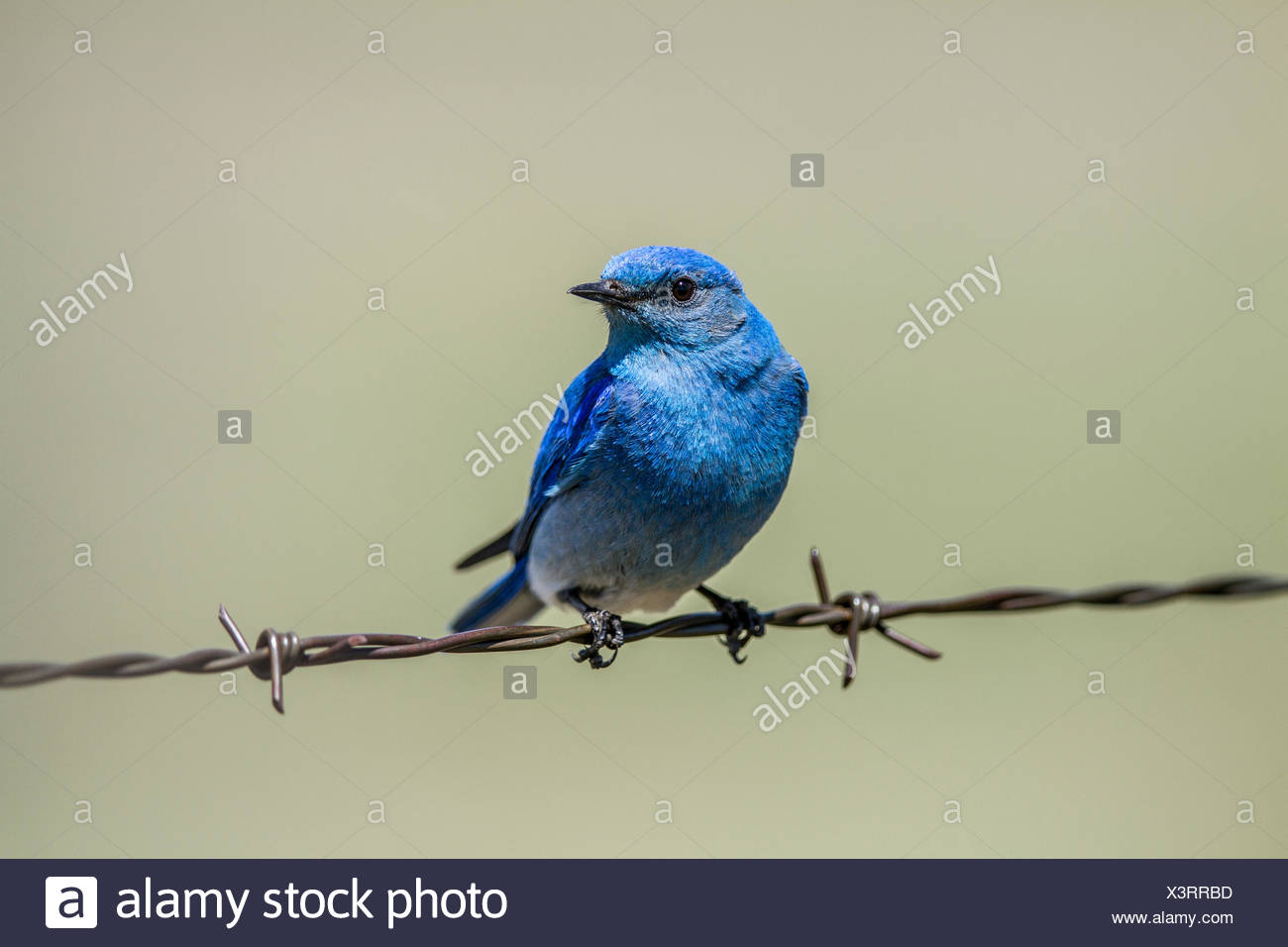 Mountain Bluebird (Sialia currucoides) Beautiful and pretty,  the colorful male bluebird sitting on barbed wire fence. Wateton National Park, Albeta, Canada - Stock Image