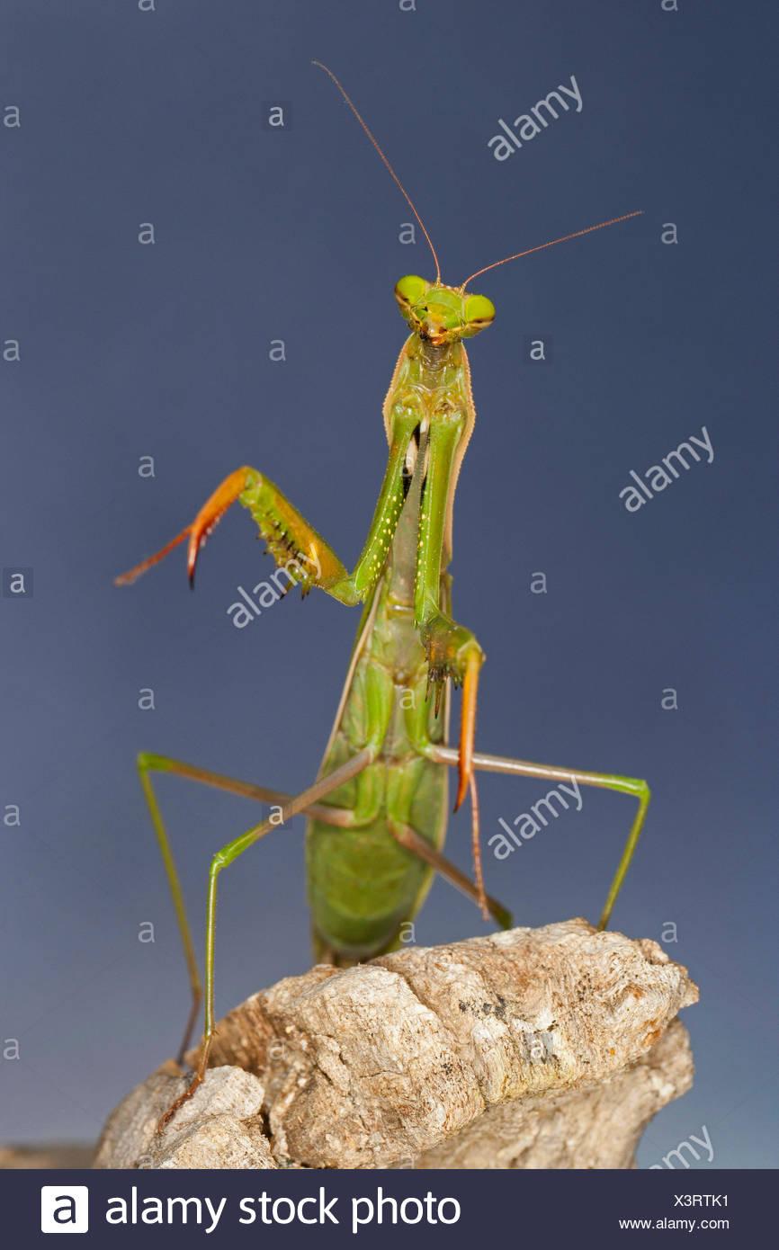 European preying mantis (Mantis religiosa), upright - Stock Image