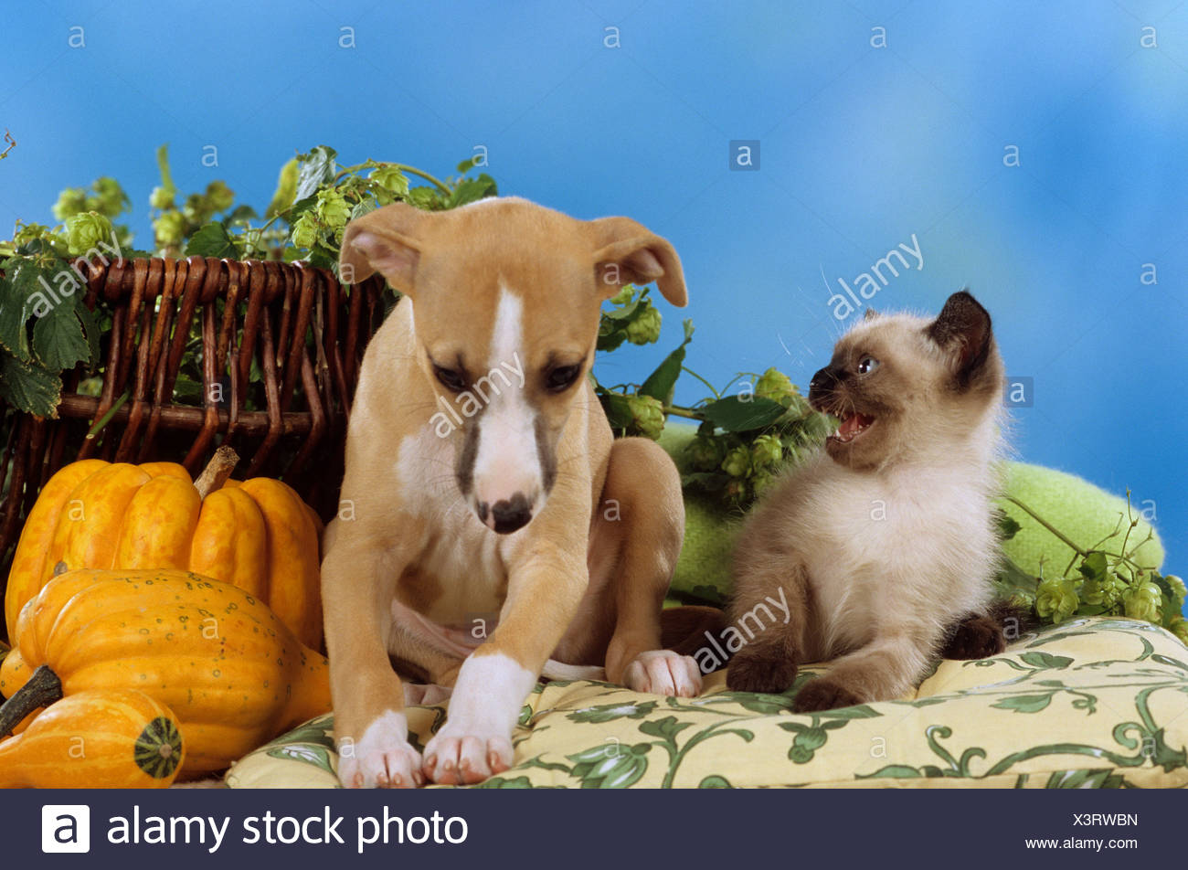 young Siamese cat snarling at a Whippet dog - puppy Stock Photo
