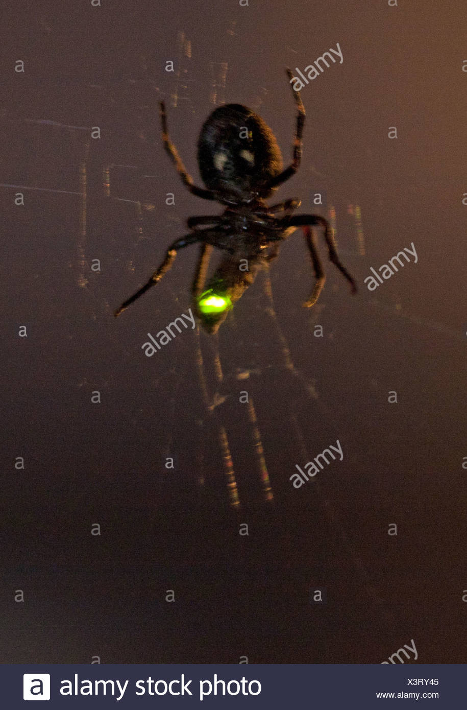 glowworms, fireflies, lightning bugs (Lampyridae), spider in its web at night with caught lightning beetle, Germany - Stock Image
