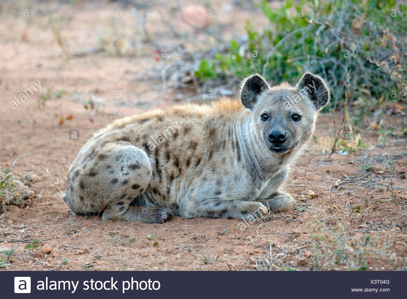 Spotted Hyena (Crocuta crocuta) aka Laughing Hyena lying on ground, Kruger National Park, Transvaal, South Africa. Stock Photo