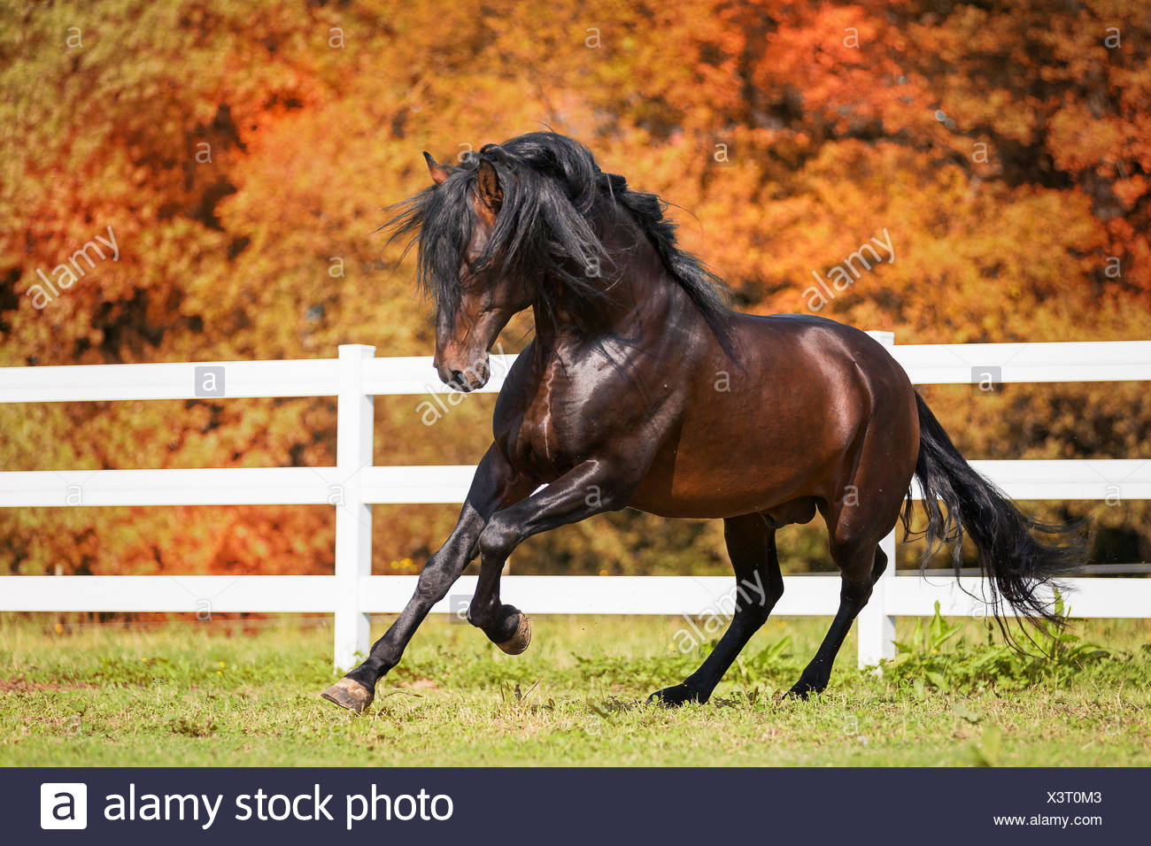 Pure Spanish Horse, Andalusian. Bay stallion galloping on a meadow. Austria - Stock Image