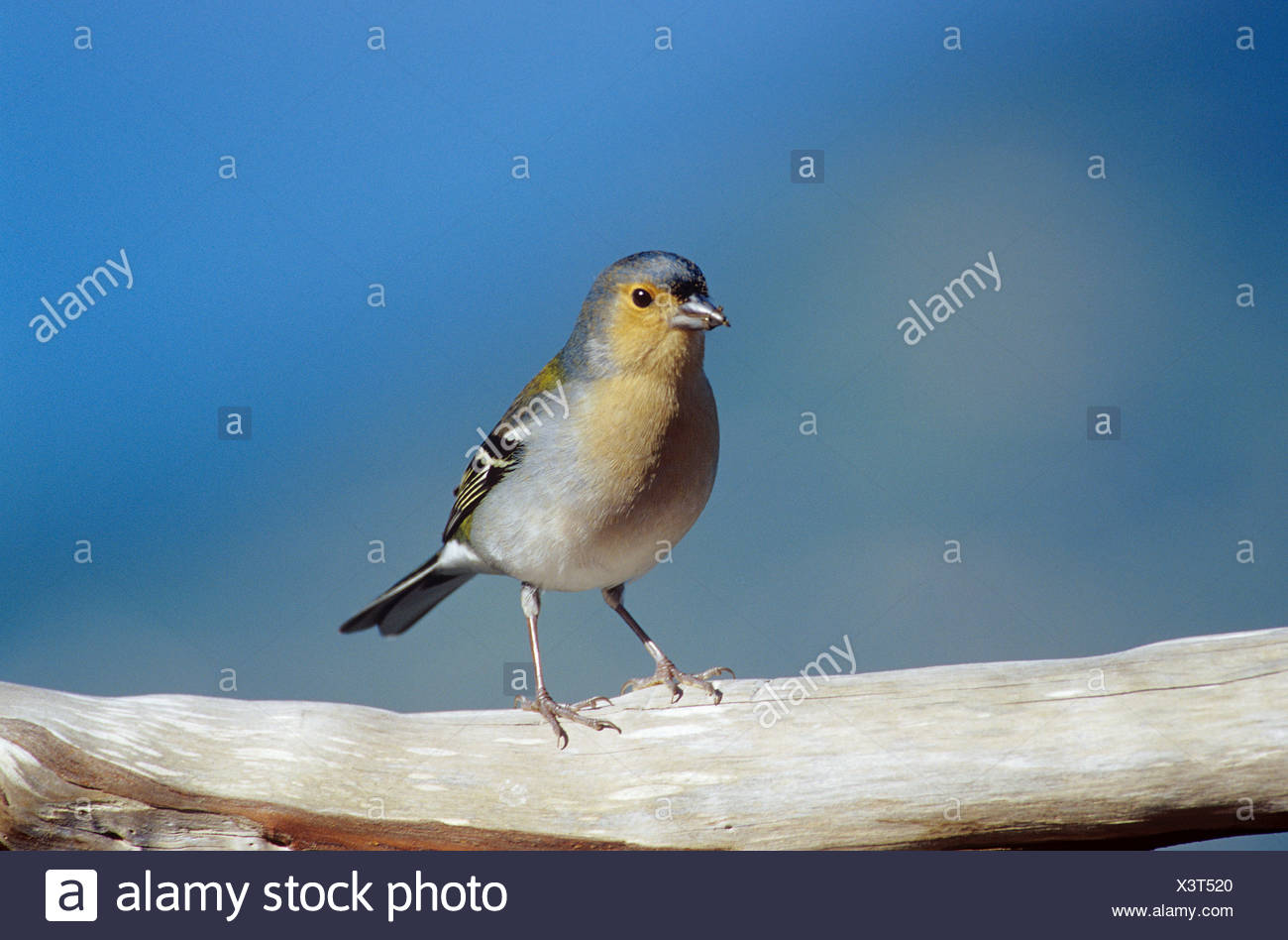 madeira chaffinch standing on branch Fringilla coelebs maderensis - Stock Image