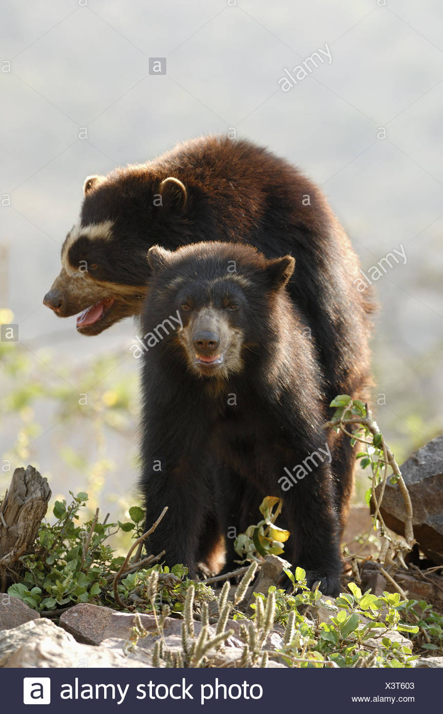 Spectacled bear (Tremarctos ornatus) mating, Chaparri Ecological Reserve, Peru, South America Stock Photo
