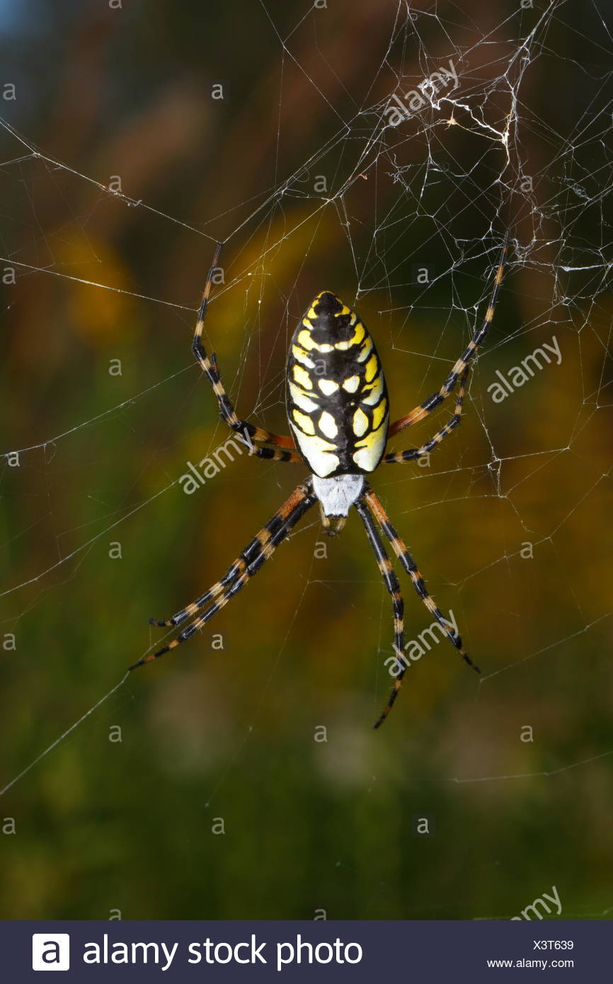 A black and yellow orb spider, Agiope aurantia, centered in its web. - Stock Image