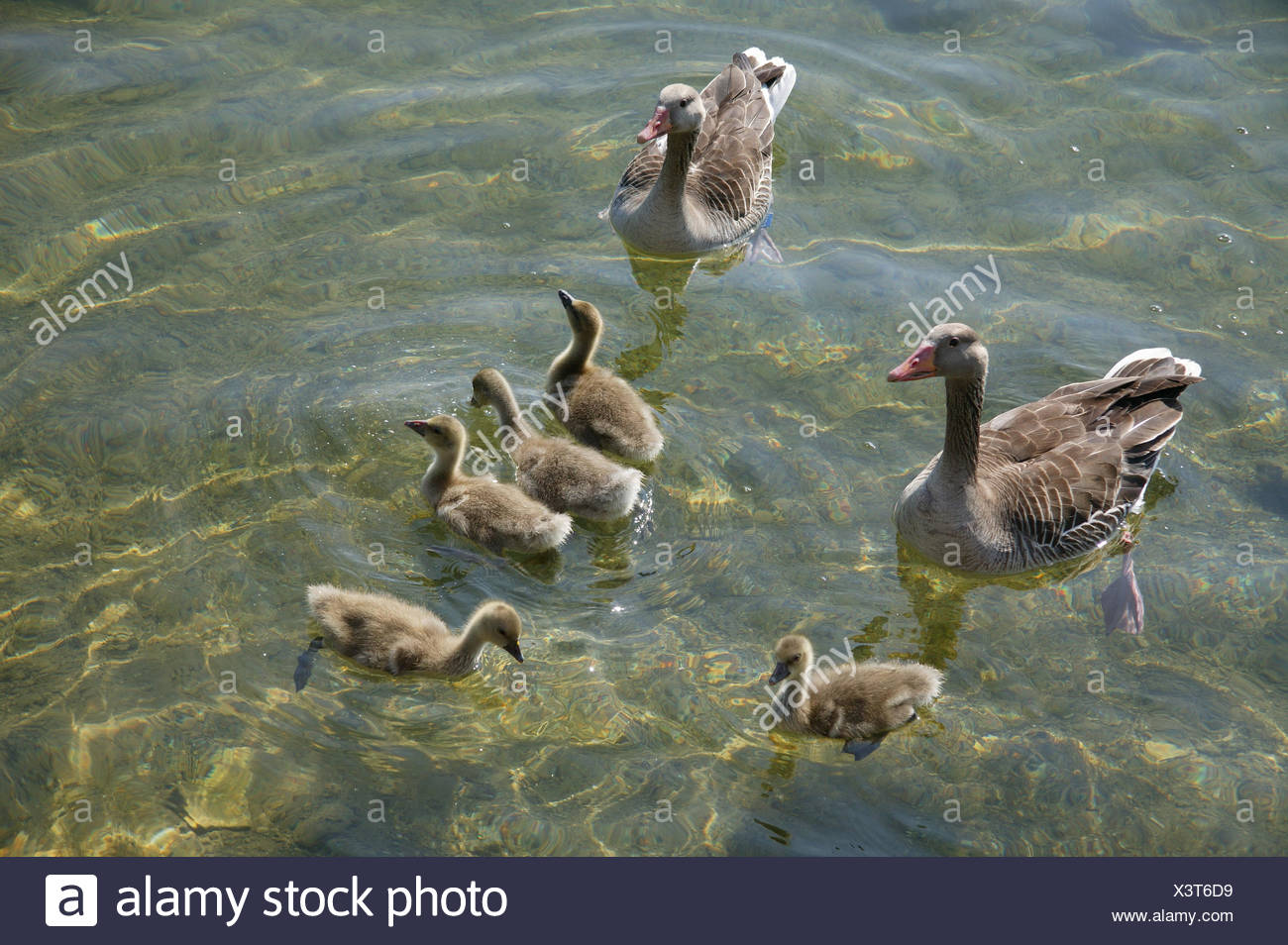 Tiere, Enten, Ente, Jungtiere, Voegel, Vogel, Wildtiere, Wildtier, Gaensevoegel, Entenvoegel, Wasservoegel, Kuecken, Muttertier, - Stock Image