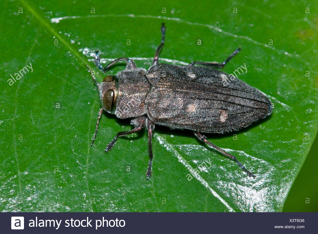Chrysobothris affinis (Chrysobothris affinis), on a leaf, Germany - Stock Image