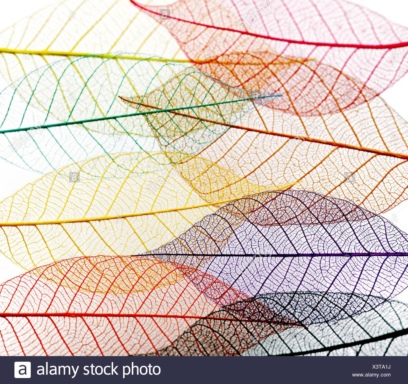 Transparent Skeleton Leaves - Stock Image