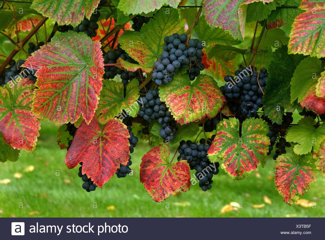 grape-vine, vine (Vitis vinifera 'Regent', Vitis vinifera Regent), cultivar Regent - Stock Image