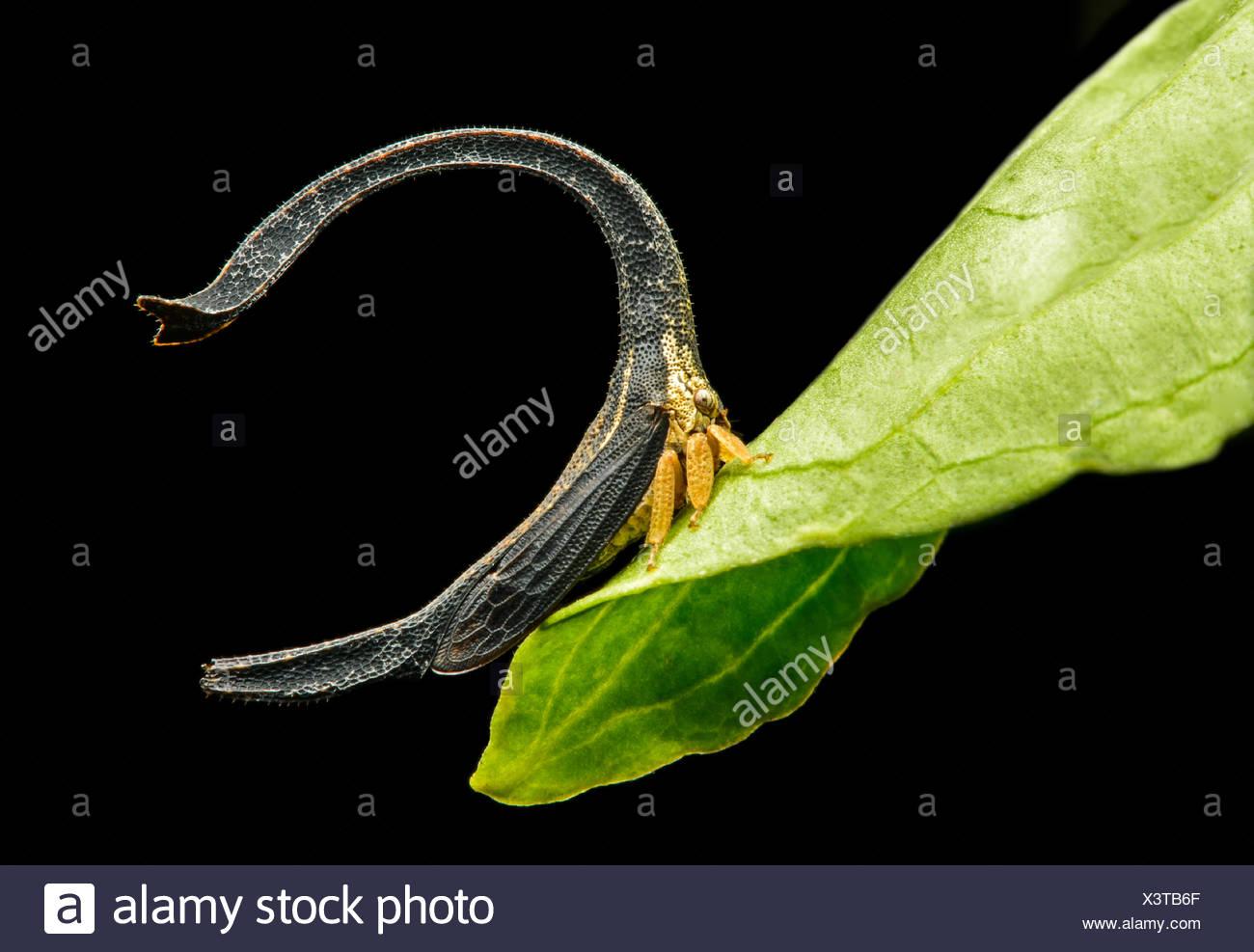 Treehopper (Cladonota sp.), size 4mm, Andean cloud forest, Mindo, Ecuador Stock Photo