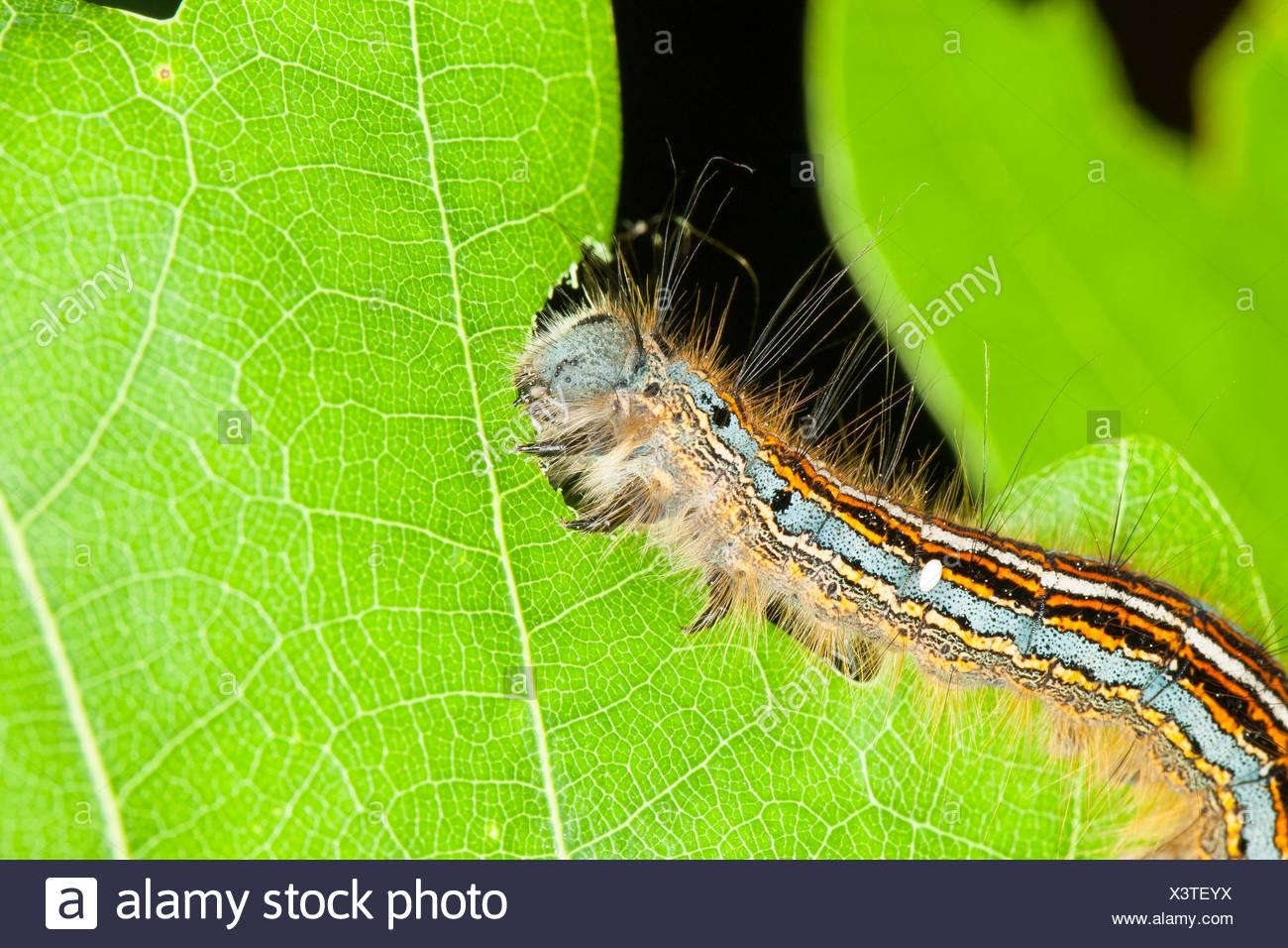 lackey, European lackey moth, common lackey (Malacosoma neustria, Malacosoma neustrium), caterpillar feeding on oak leaf, Germany - Stock Image
