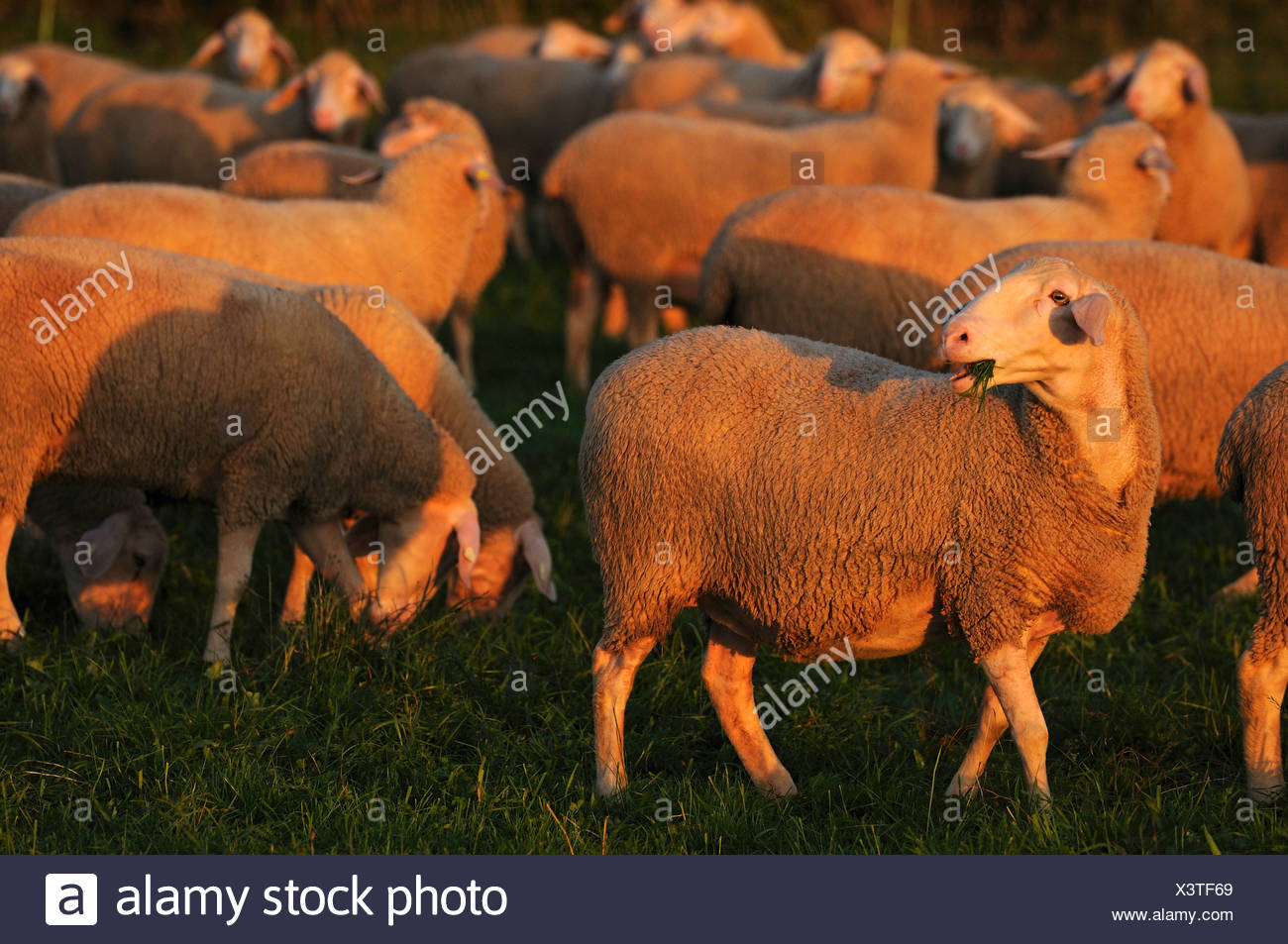 domestic sheep (Ovis ammon f. aries), flocks of sheep grazing in evening light, Germany - Stock Image